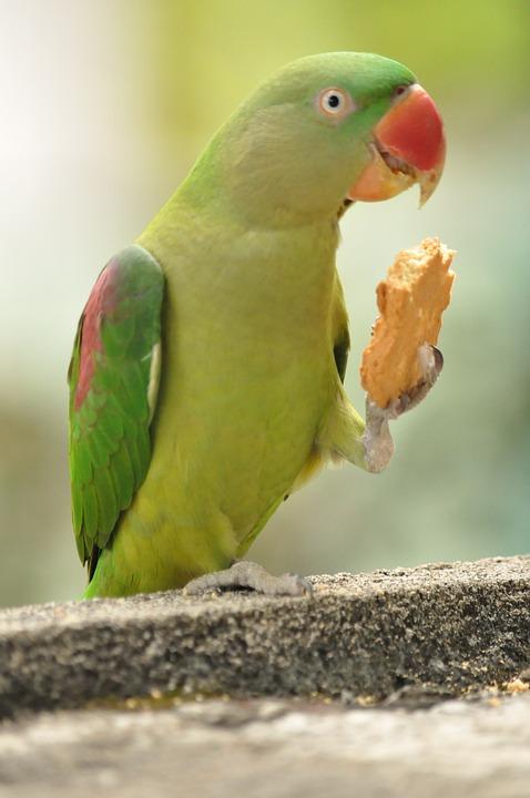 Nature, Bird, Wild, Parrot, Eatting, Cookies