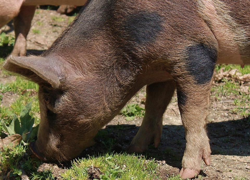 Pig, Wild, Corsican, Nature