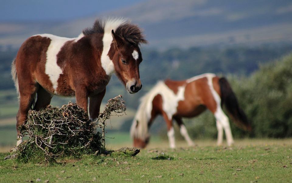 Pony, Dartmoor, Wild, Animal, Horse