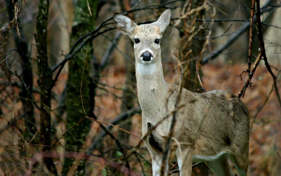 Deer, Doe, Nature, Animal, Wildlife, Female, Fur, Wild