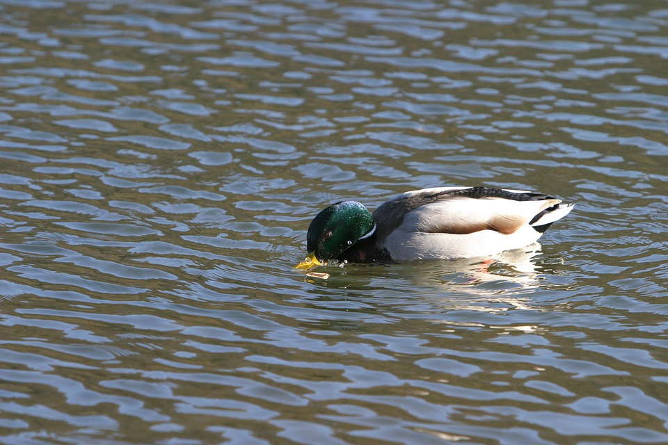 Duck, Wild Duck, Altmühl, Water, Altmühltal Nature Park
