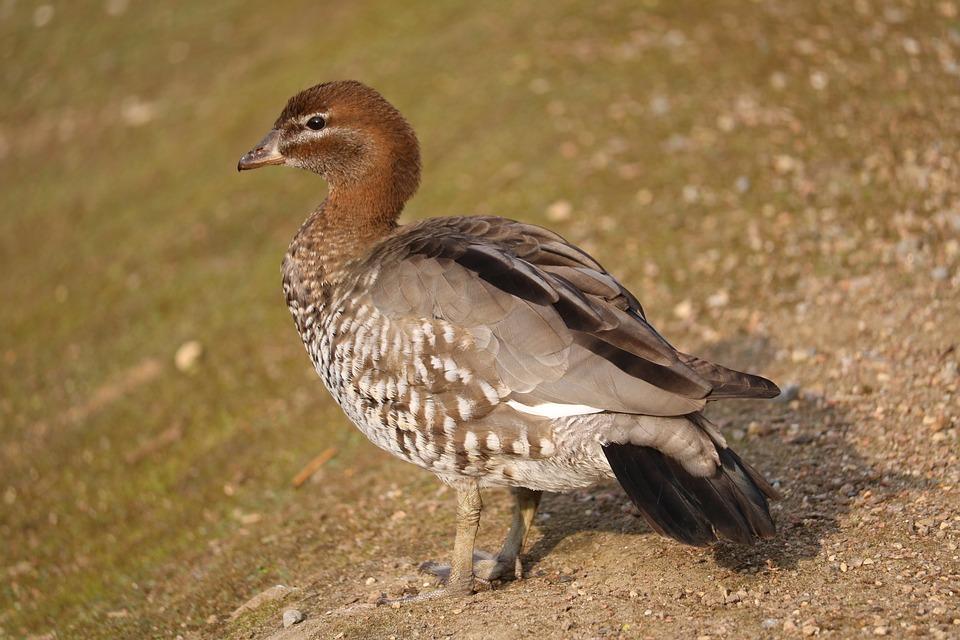 Animal World, Nature, Bird, Animal, Wild, Brown, Duck