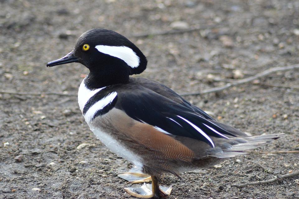 Duck, Animal, Wild Ducks