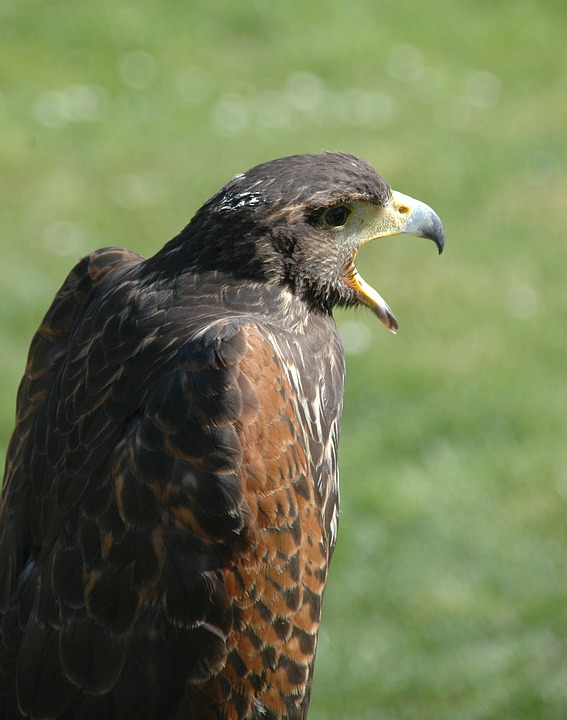 Raptor, Bird, Eagle, Falcon, Wild, Animal, Wildlife