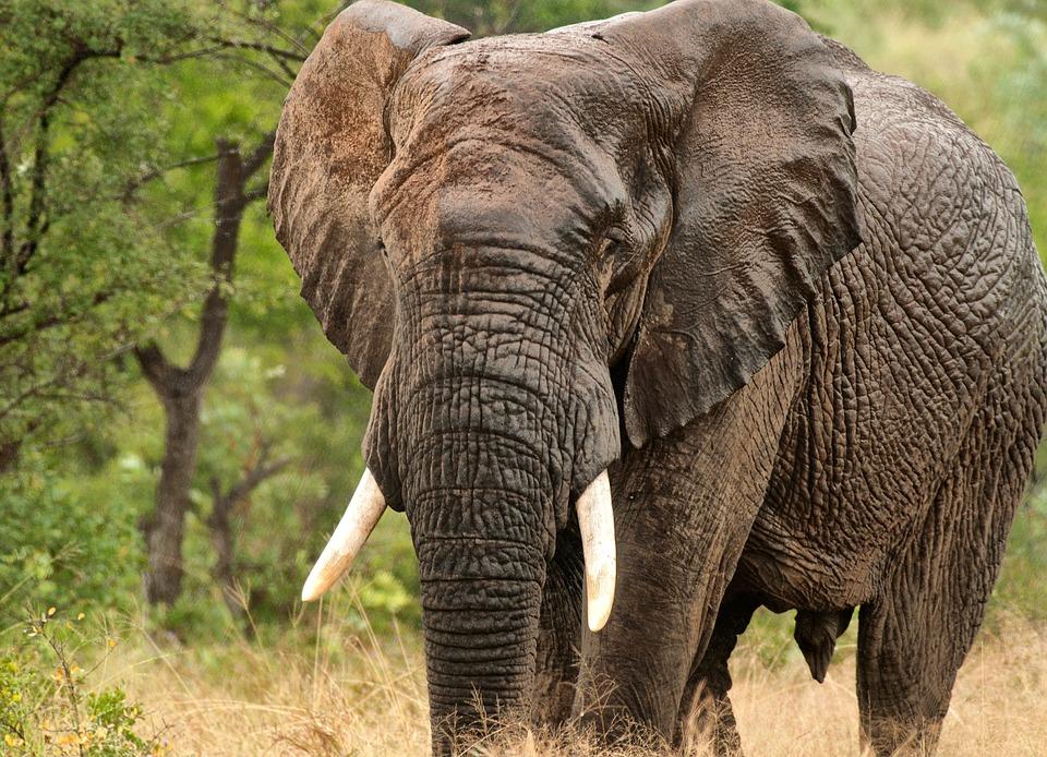 Elephant, Africa Wet, Wild, Wildlife, Nature, Tourism
