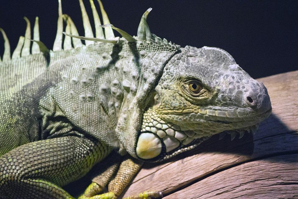 Chameleon, Zoo Chameleon, Green Chameleon, Wild Eye