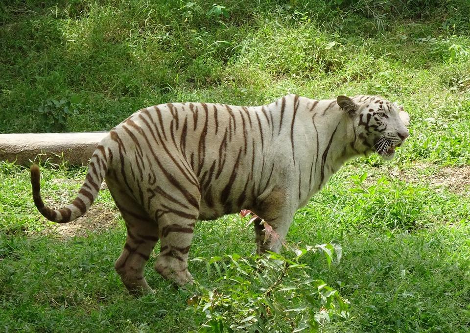 Free photo Wild Feline Wildlife Tiger Cat White Tiger Animal