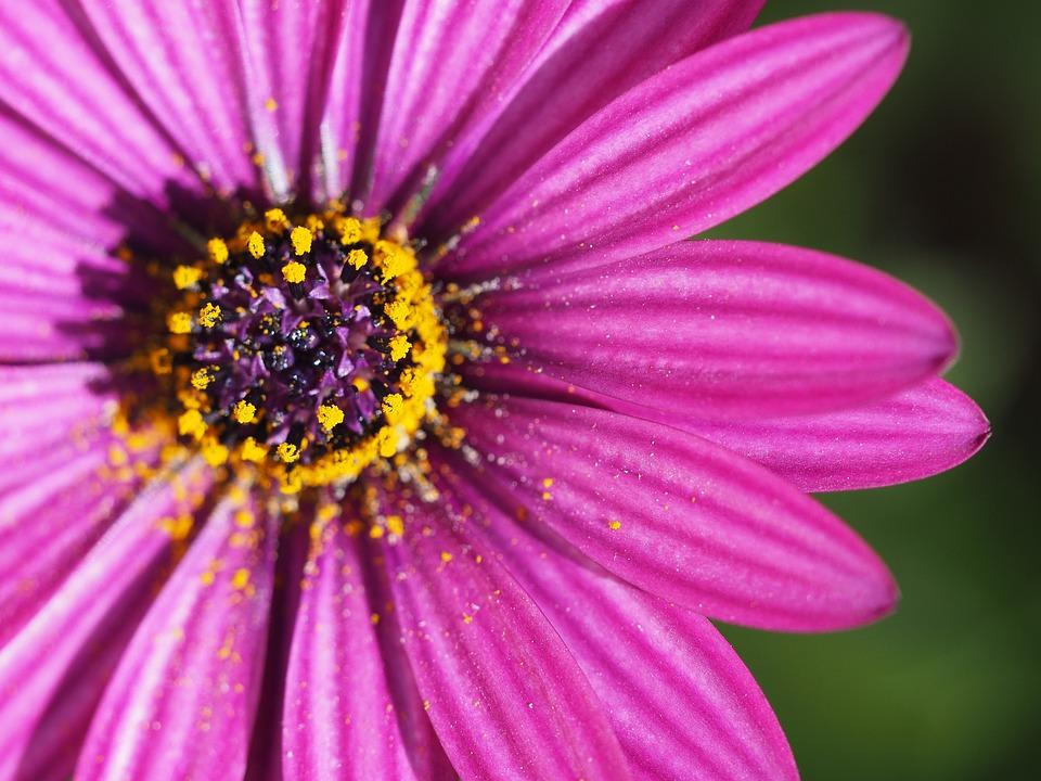 Flower, Petal, Purple, Floral, Pink, Daisy, Wild