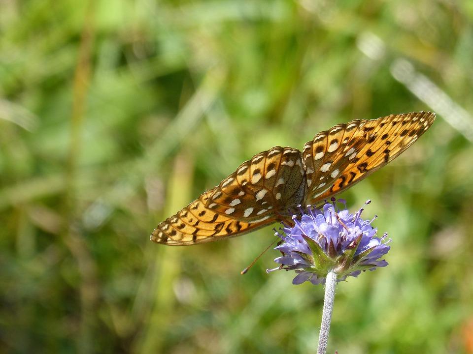 Butterfly, Wild Flower, Libar, Translucent