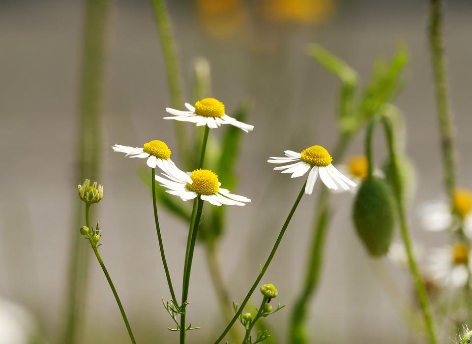 Chamomile, Flowers, Early Summer, June, Wild Flower