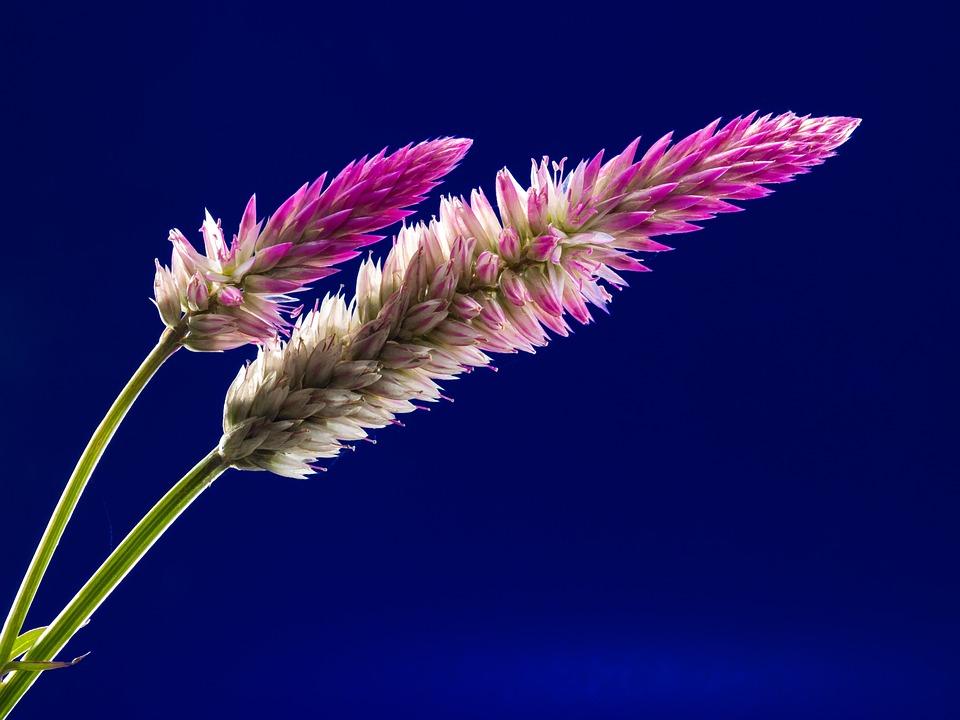 Blossom, Bloom, Flower, Wild Flower, Close