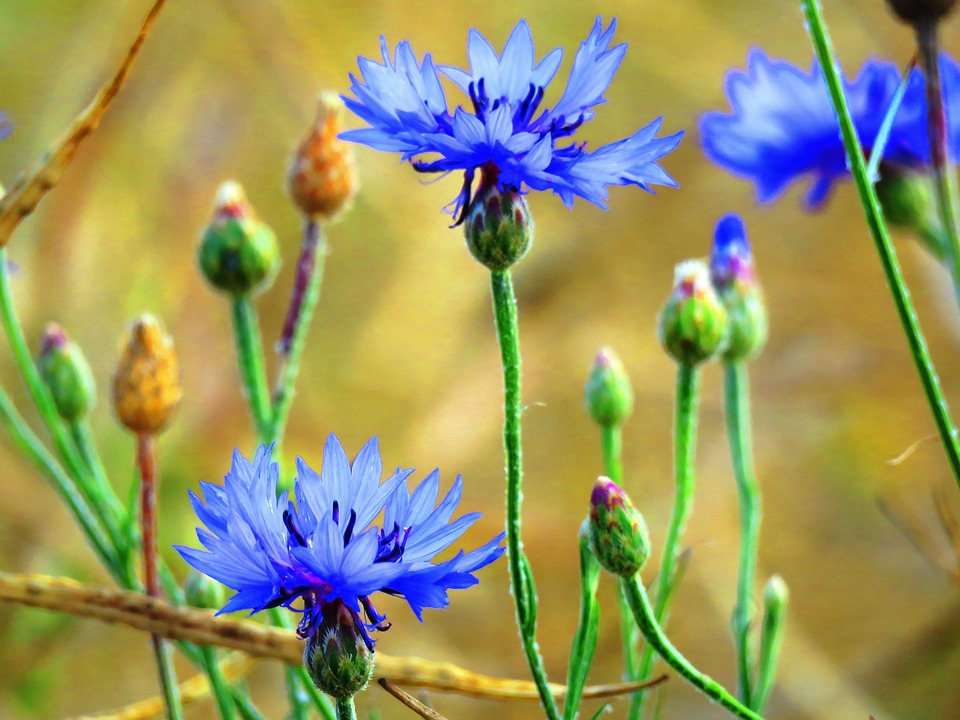 Cornflowers, Blue, Wild Flower, Close, Cornfield