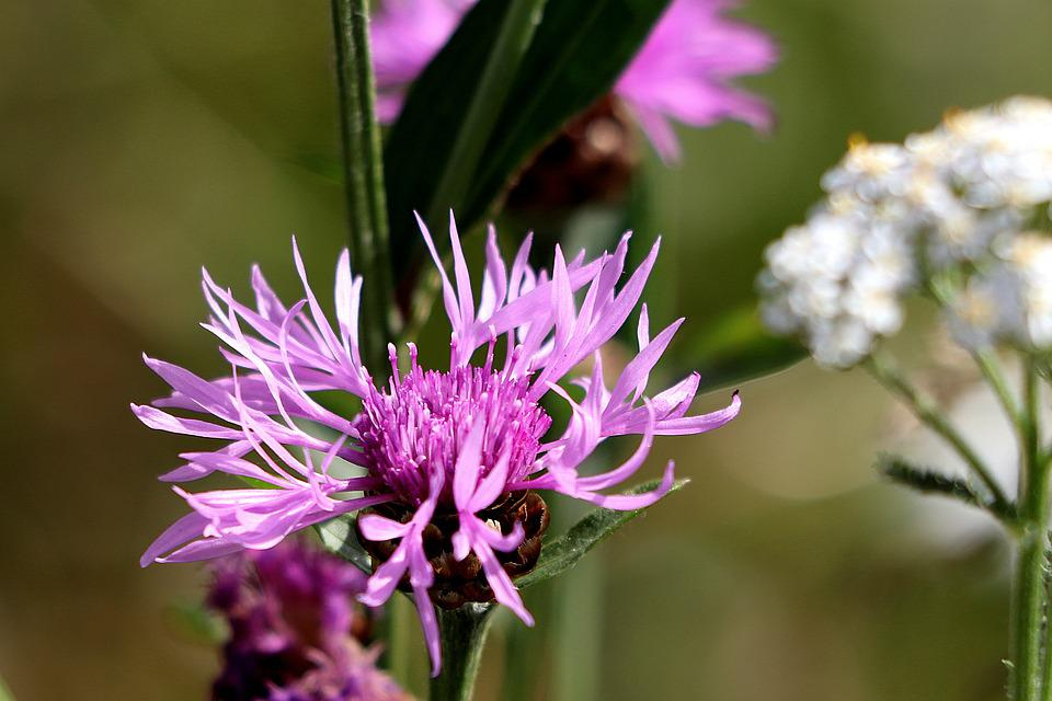 Thistle, Blossom, Bloom, Close Up, Wild Flower