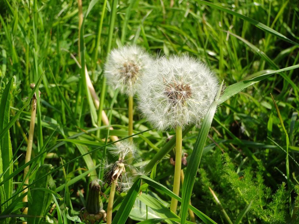Nature, Dandelion, Wild Flower