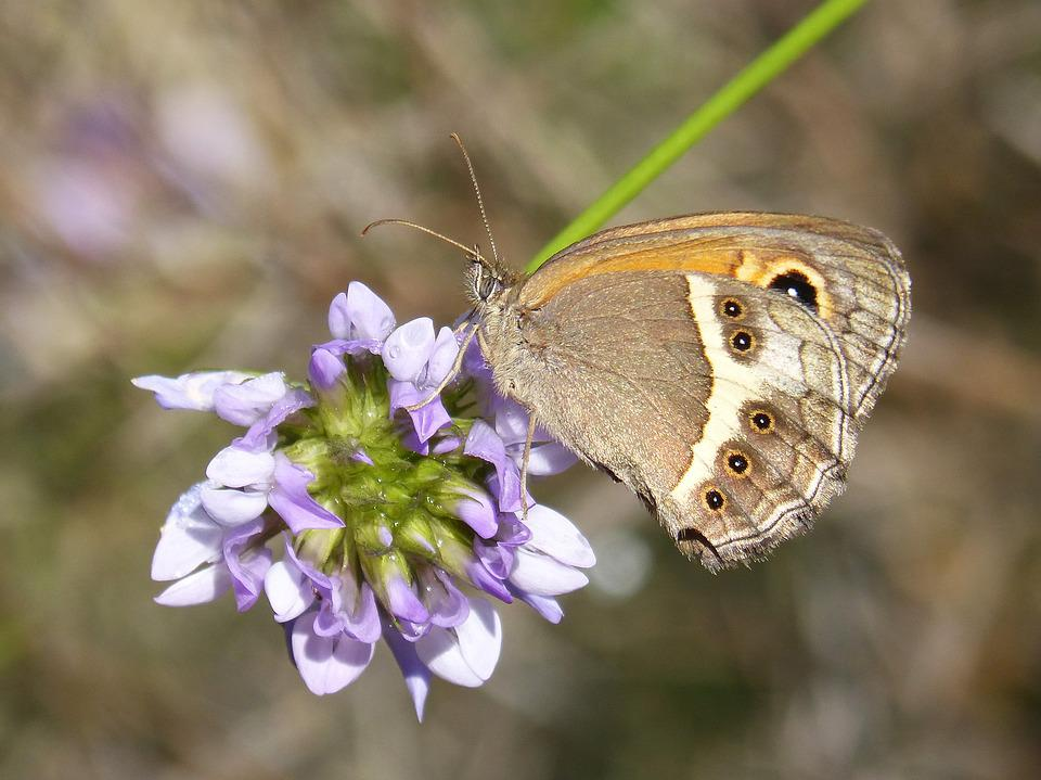 Butterfly, Lobito List, Wild Flower, Detail