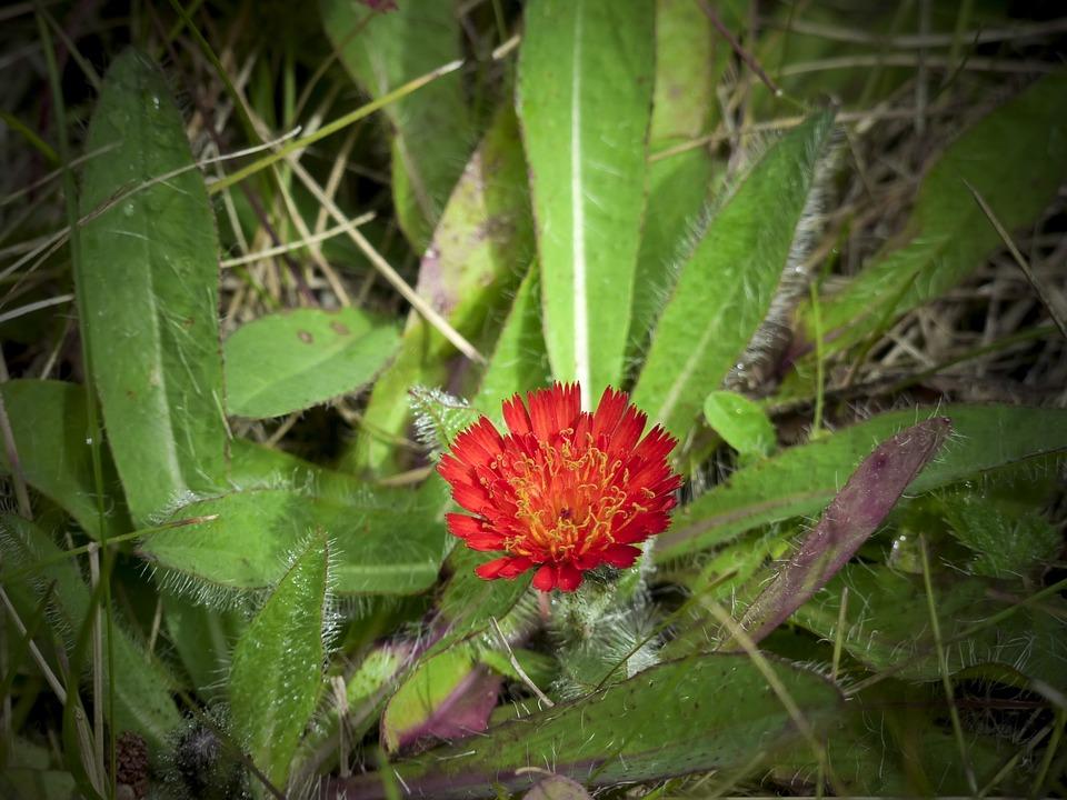 Hawk Weed, Wild Flower, Red, Orange, Meadow, Blossom