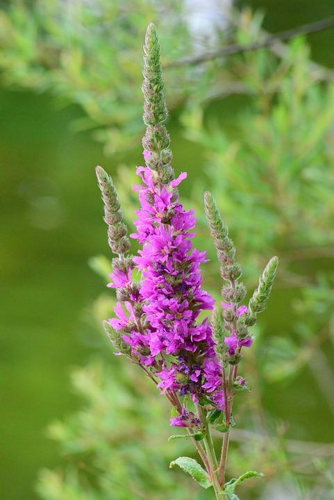 Purple Loosestrife, Wild Flower, Tall, Purple