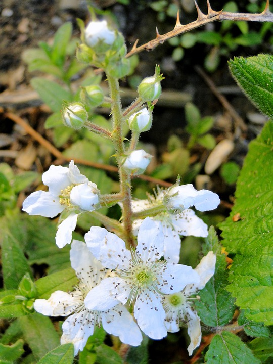 Wild, Blackberry, Bush, Plant, Flowering, Flowers