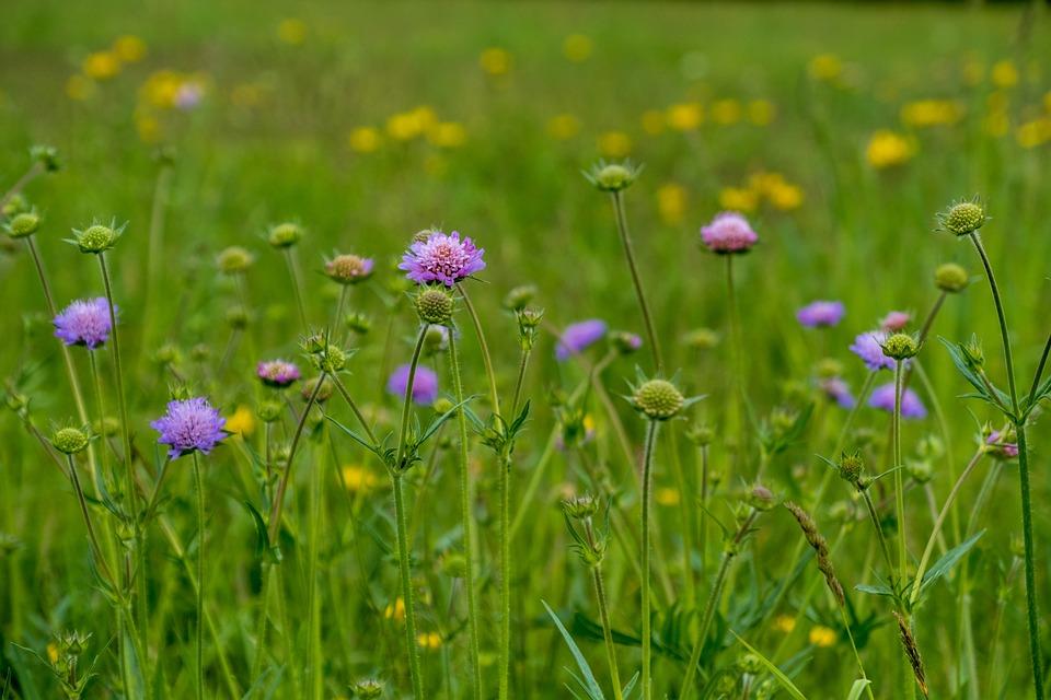 Flower Meadow, Wild Flowers, Plant, Sewing Kisselchen