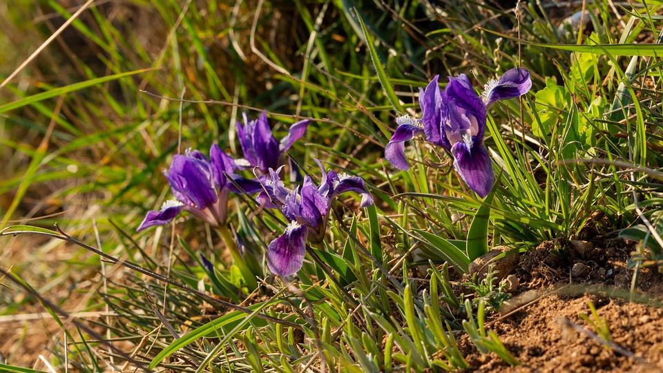Irises, Lilac Flowers, Spring Flowers, Wild Flowers
