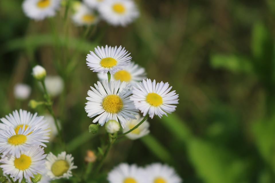 Wild Flowers, Meadow, Flowers, Nature, Daisies