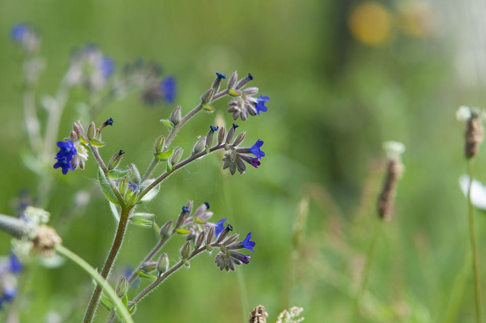 Ox Tongue, Plantain, Flower Meadow, Wild Flowers