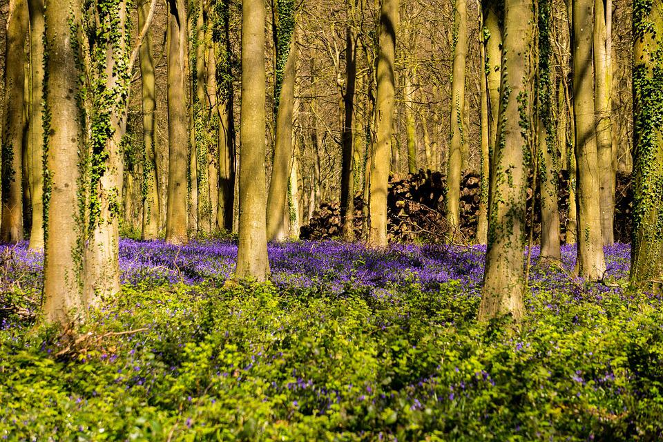 Bluebells, Woodland, Wild Flowers, Countryside, Purple