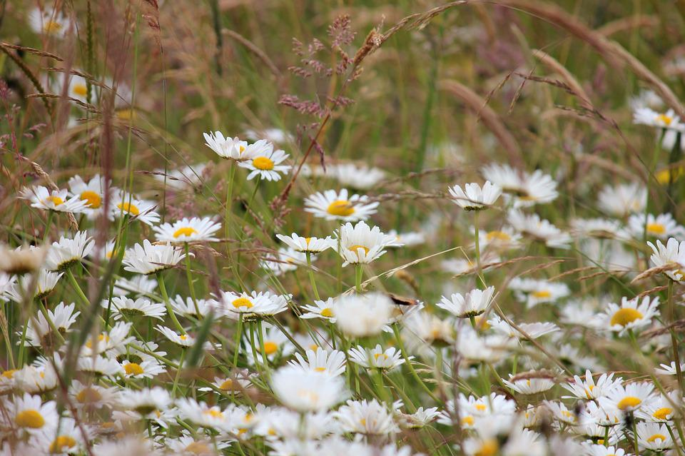 Daisies, Meadow, White, Meadow Margerite, Wild Flowers