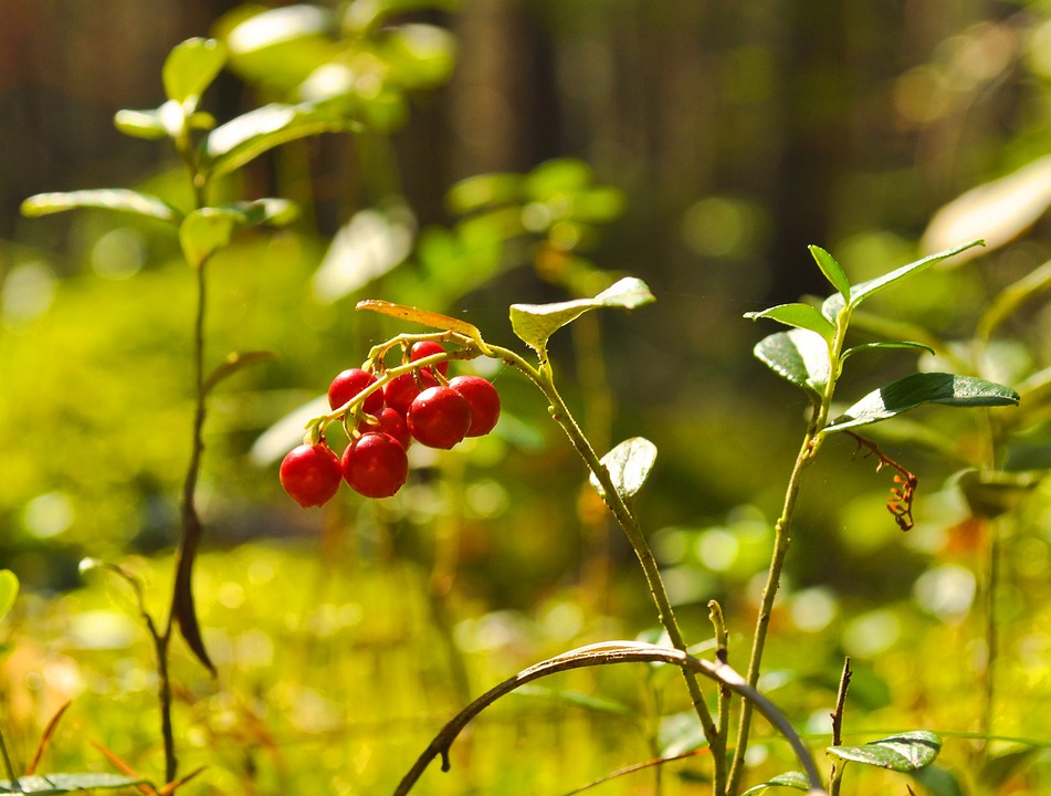 Berry, Cranberry, Red, Nature, Wild, Food, Useful