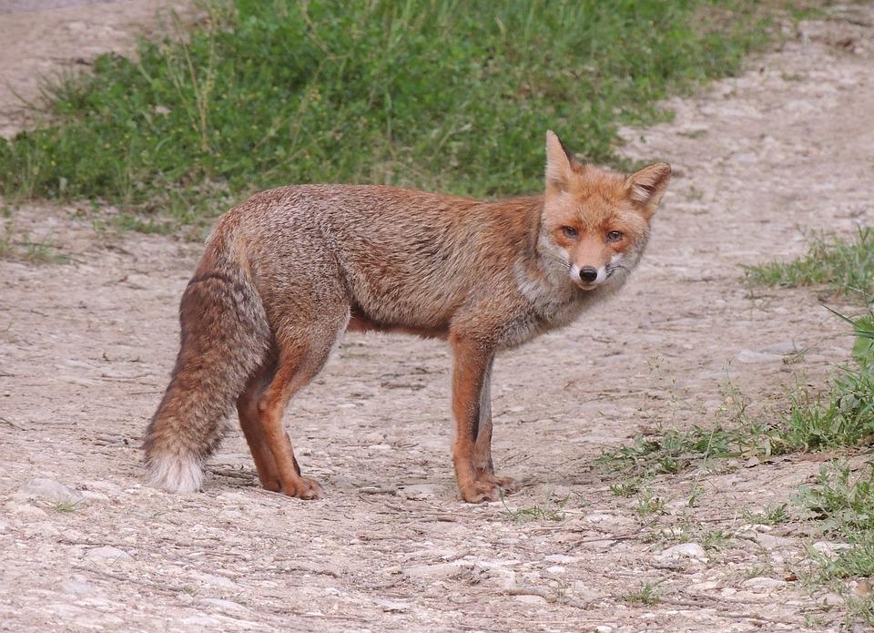 Animals, Fox, Wild, Animal