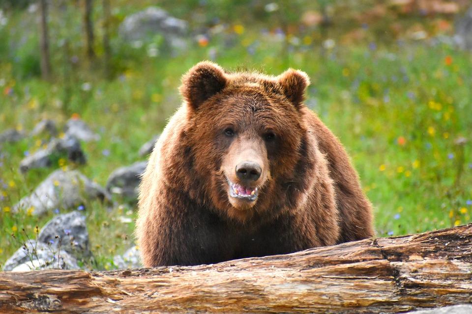 Bear, Face, Brown, Nature, Fur, Wild, Mammals
