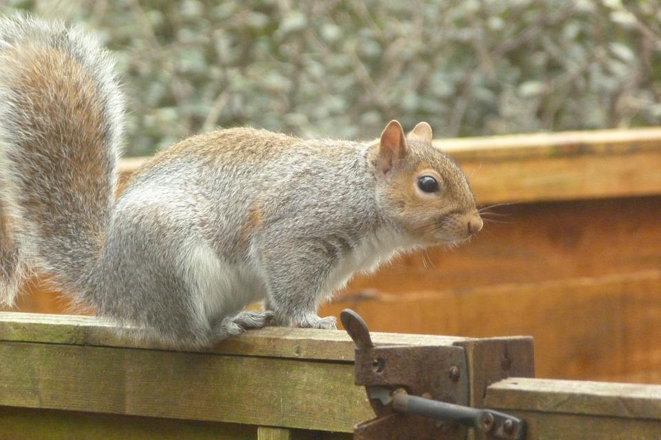 Grey Squirrel, Wild, Grey, Nature, Wildlife, Furry
