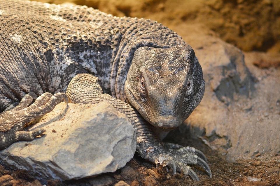 The Lizard, Zoo, Animal, Wild, Gad, Nature, Skin, Waran