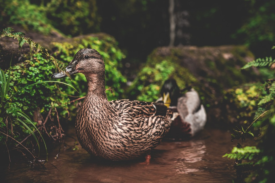 Wild, Ducks, Nature, Lake, England, Uk, Garden, Duck