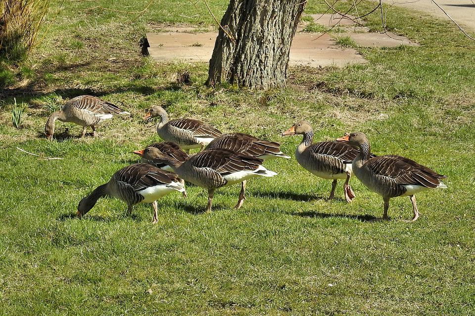 Wild Geese, Grey Geese, Geese, Poultry, Water Bird