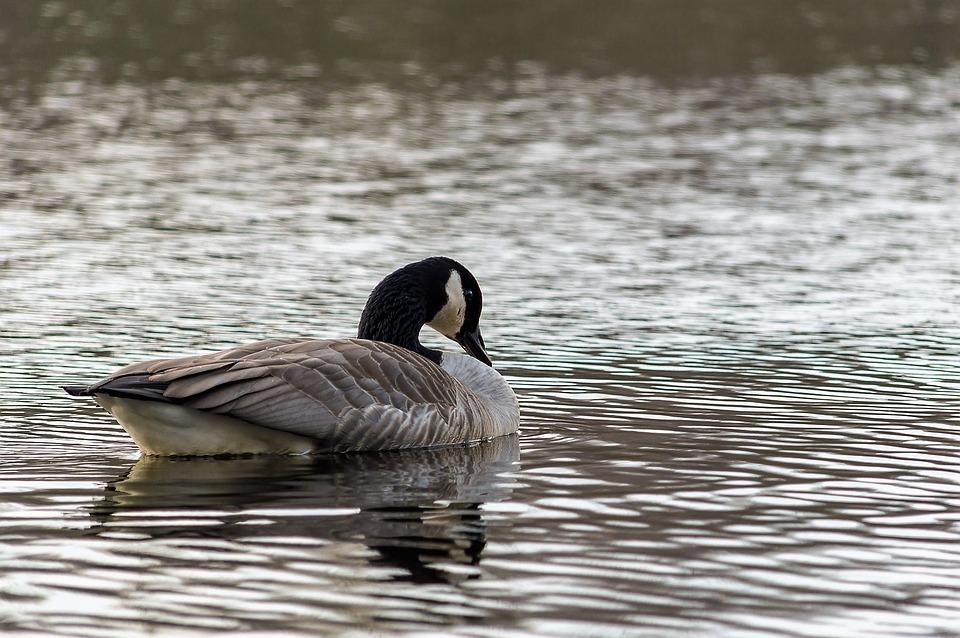 Goose, Wild Goose, Bird, Nature, Water Bird, Geese