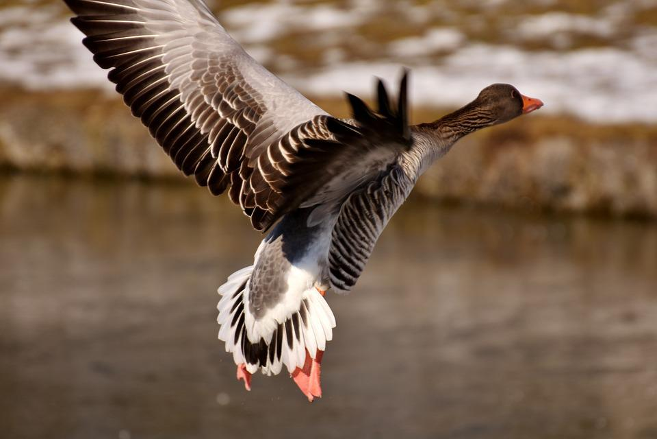Goose, Wild Goose, Fly, Bird, Water Bird, Nature
