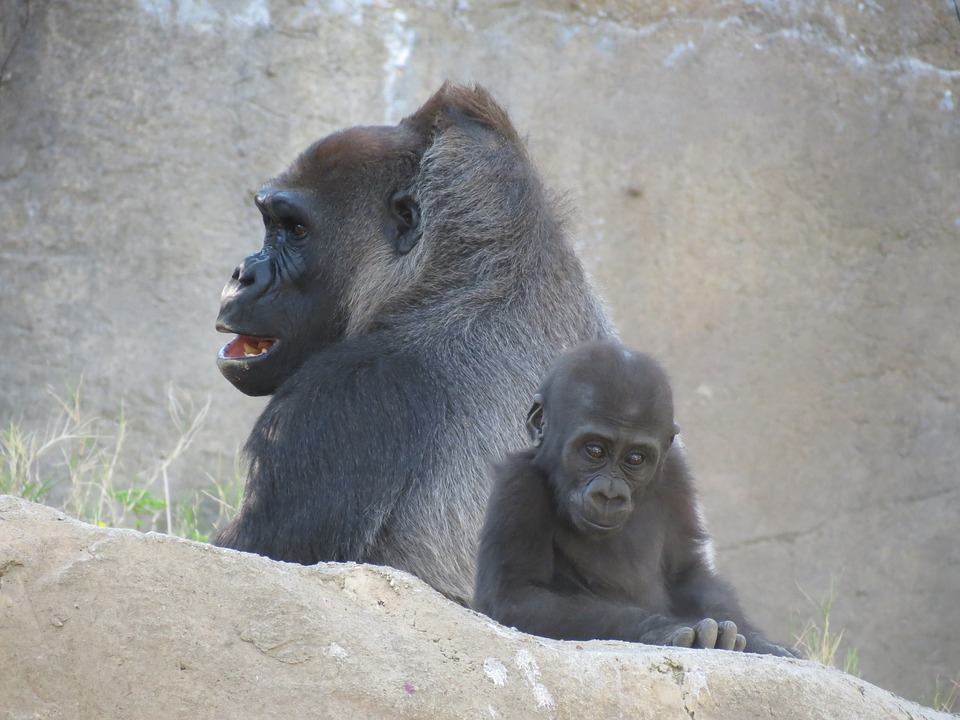 Gorilla, Gorilla Baby, Wild
