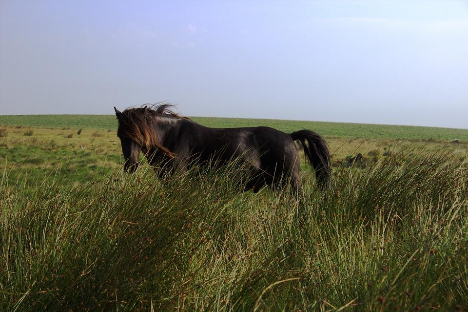 Horse, Dartmoor, Wild Horse, Pasture