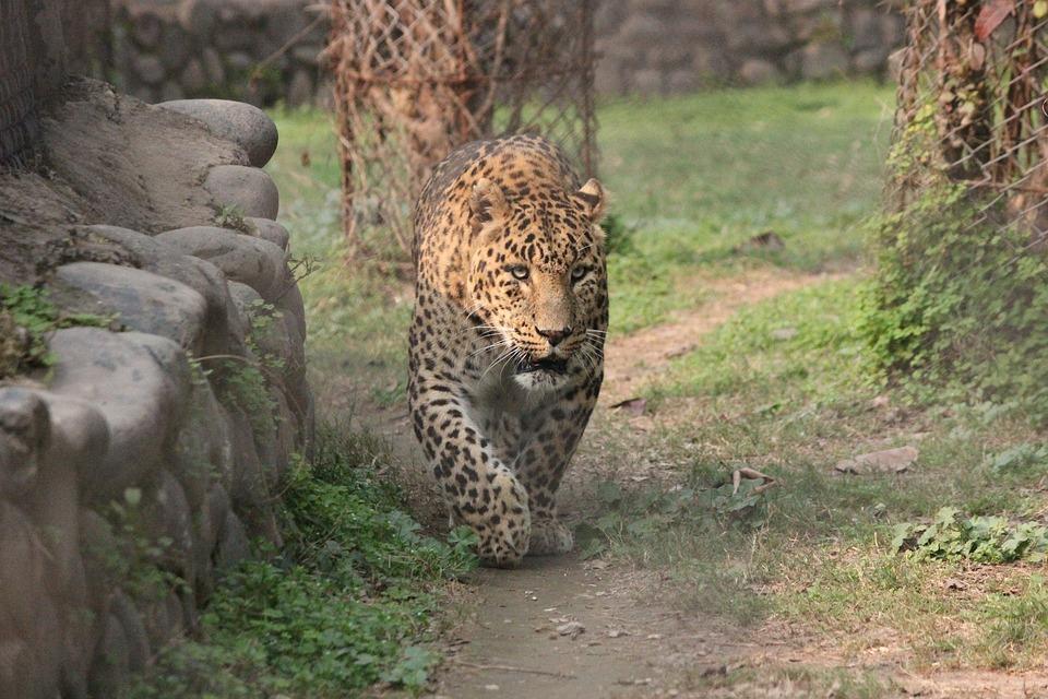 Animal, Leopard, Wildlife, Wild, Nature, Safari, Africa