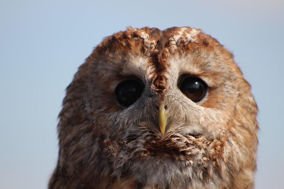 Owl, Bird, Wild Life, Nocturnal