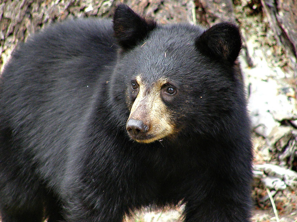 Black, Bear, Mammal, Animal, Nature, Wild Life, Hungry