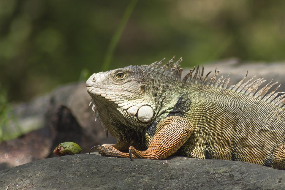 Nature, I Would Encourage, Wild Life, Reptile, Lizard