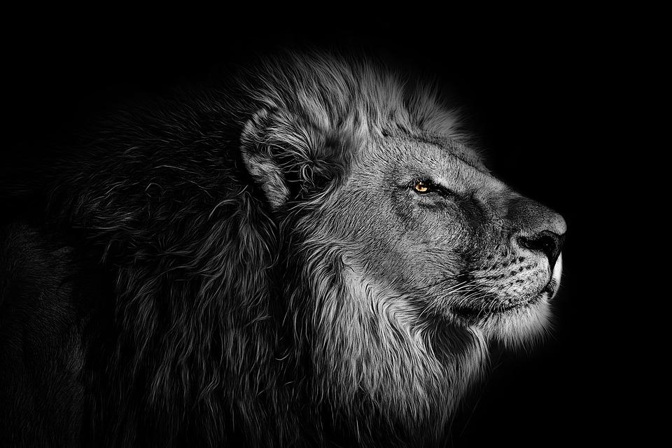 Wallpaper, Background, Lion, Animal, Wild, Wildlife