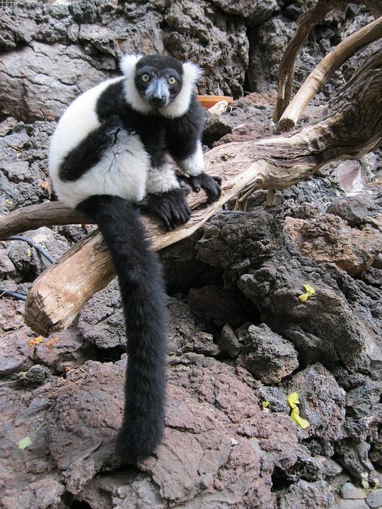 Lemur, Monkey, Primate, Wild, Mammal, Zoo