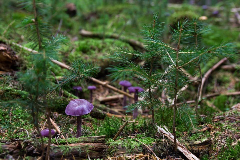 Mushrooms, Violet Laccaria, Wild Mushrooms, Spore