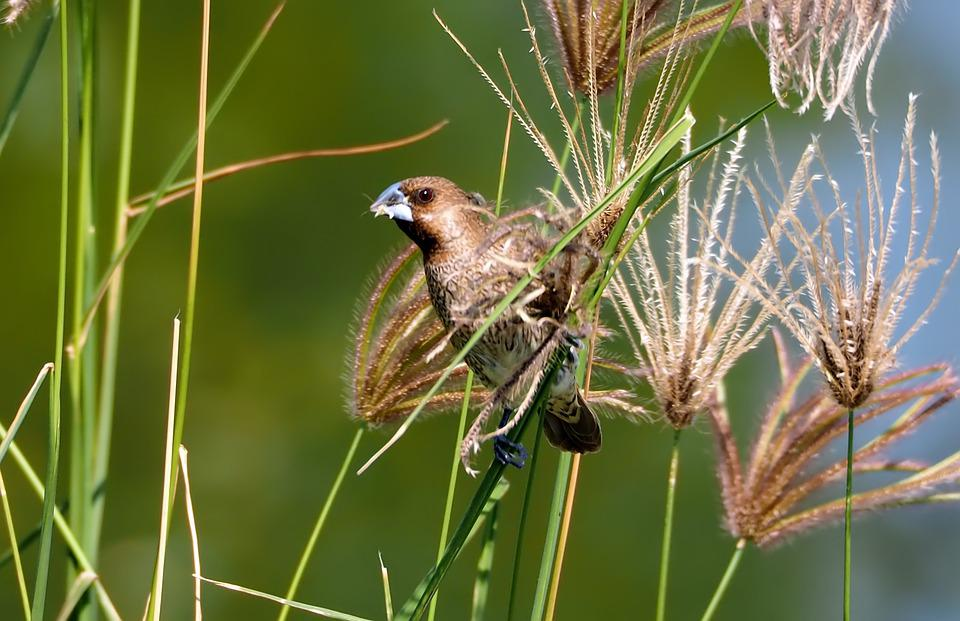 Scaly-breasted Munia, Wild, Bird, Wildlife, Natural