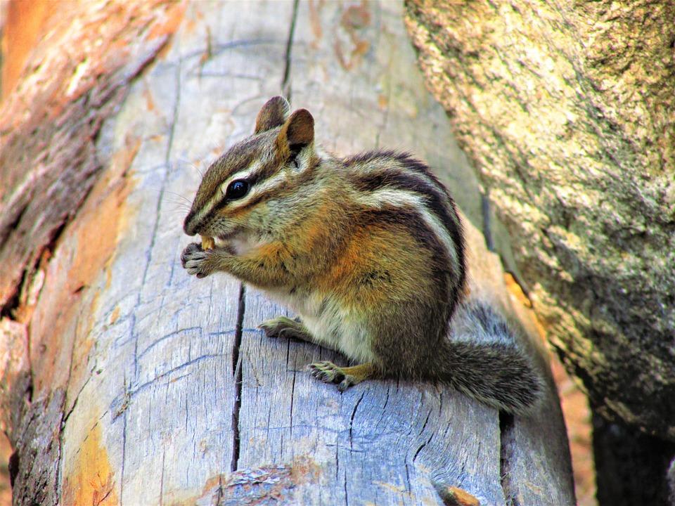 Chipmunk, Animal, Mammal, Nature, Cute, Rodent, Wild