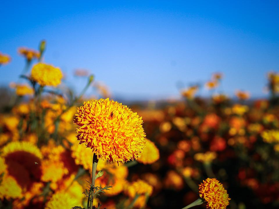 Flowers, Nature, Marigolds, Flower, Field, Wild Nature
