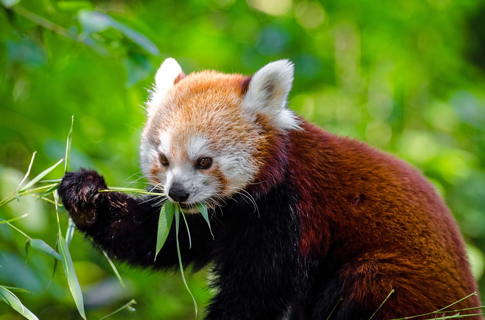 Red Panda, Animal, Panda, Wild, Wildlife, Zoo, Nature